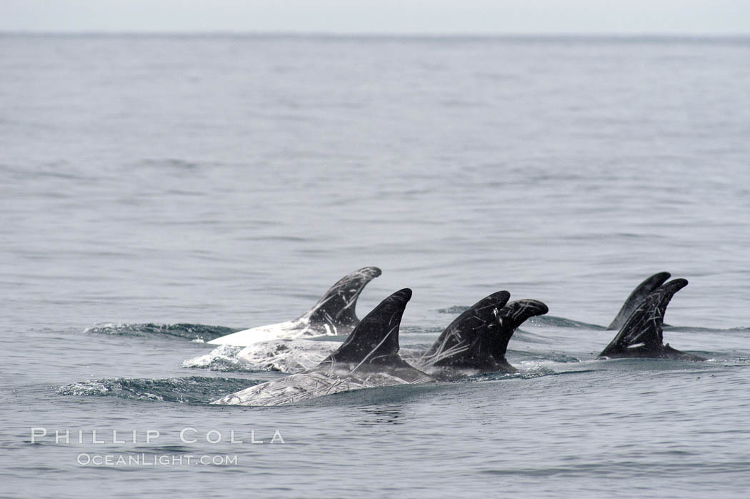 Rissos dolphin. Note distinguishing and highly variable skin and dorsal fin patterns, characteristic of this species.  White scarring, likely caused by other Risso dolphins teeth, accumulates during the dolphins life so that adult Rissos dolphins are almost entirely white.  Offshore near San Diego. San Diego, California, USA, Grampus griseus, natural history stock photograph, photo id 07593