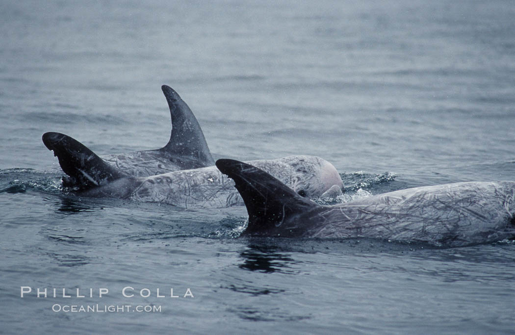 A group of Rissos dolphin surfaces.  Extensive scarring on adult Rissos dolphins allows identification of individuals based on their dorsal fins, provided the identification methodology incorporates scarring acquired in future years. Offshore near San Diego. San Diego, California, USA, Grampus griseus, natural history stock photograph, photo id 07600