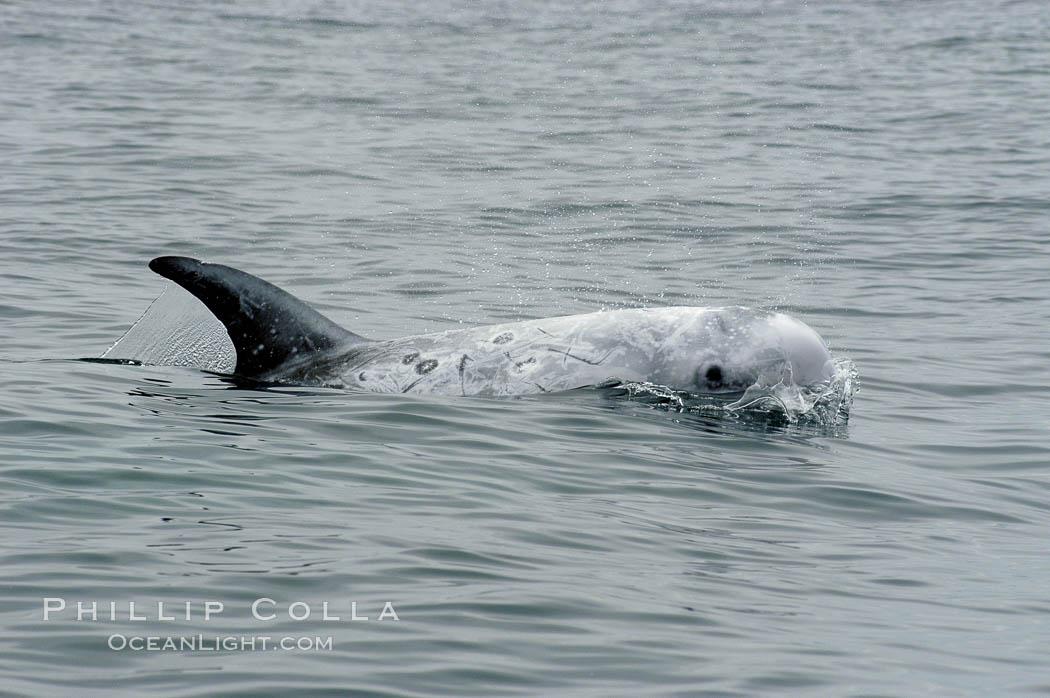 Rissos Dolphin Natural History