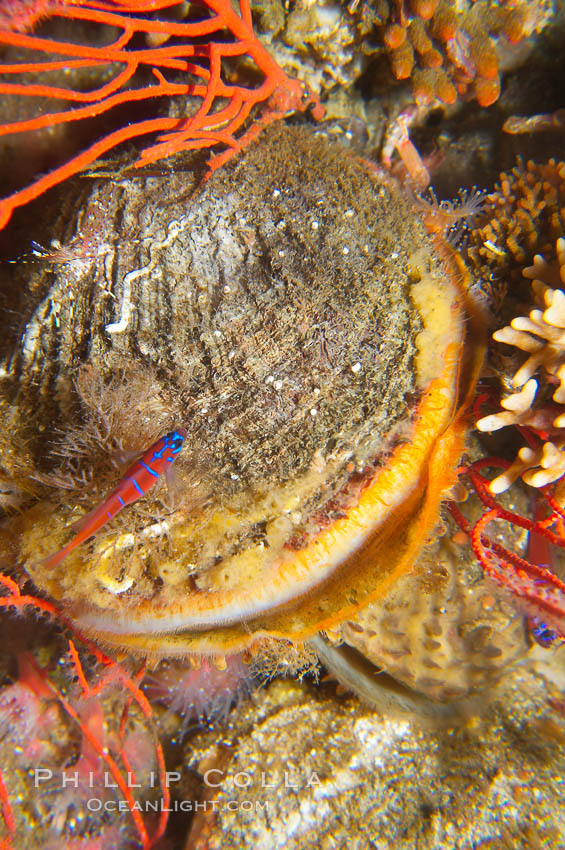 Rock scallop., Crassedoma giganteum, natural history stock photograph, photo id 14008