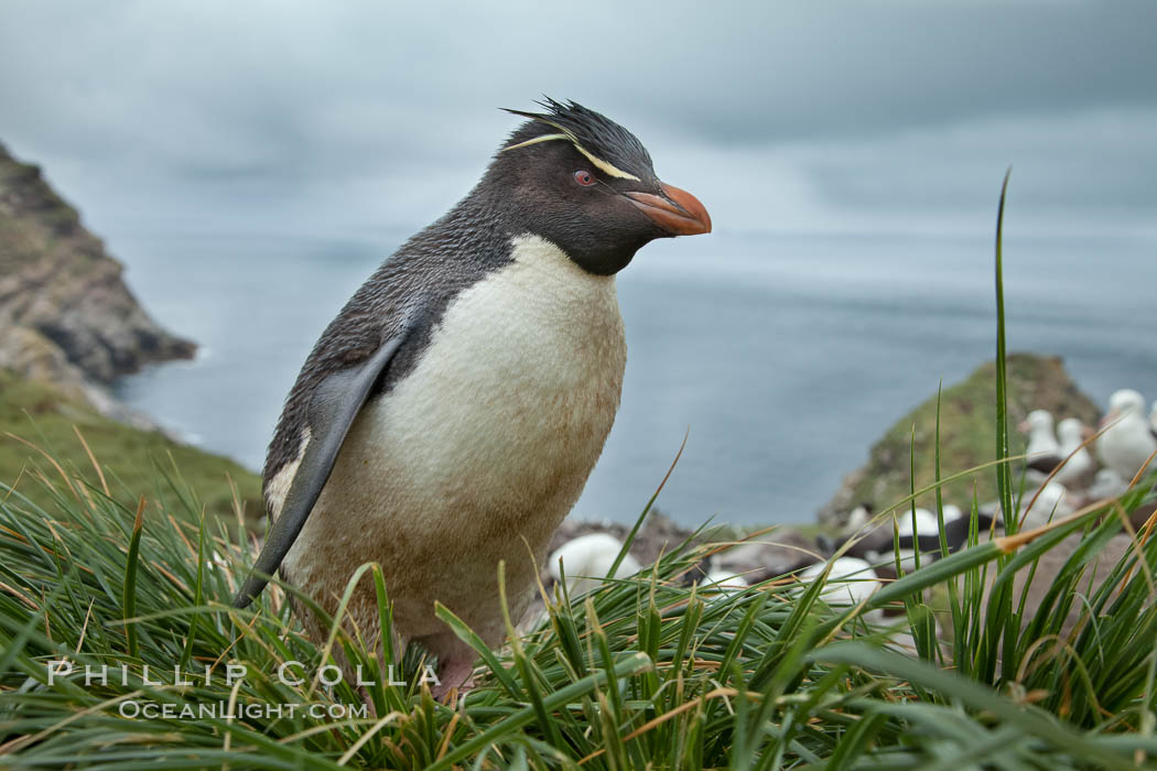 Western rockhopper penguin, standing atop tussock grass near a rookery of black-browed albatross, Eudyptes chrysocome, Westpoint Island