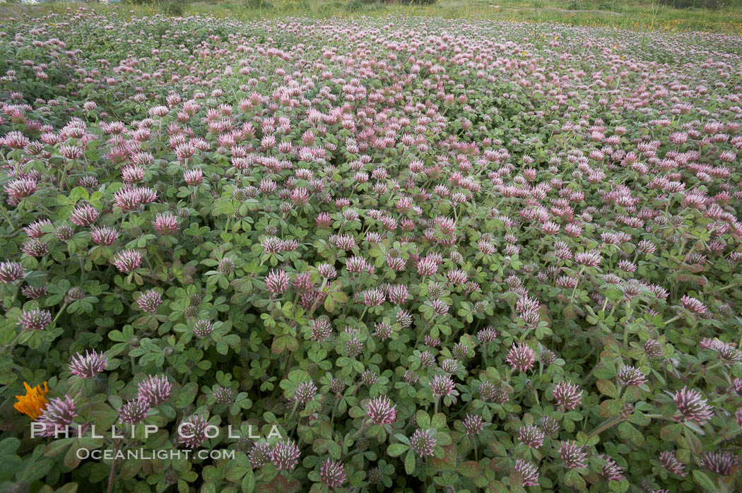 Rose clover blooms in spring. Carlsbad, California, USA, Trifolium hirtum, natural history stock photograph, photo id 11450