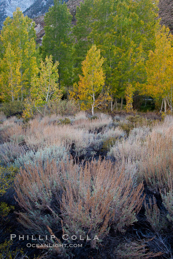 Sage brush and aspen trees, autumn, in the shade of Bishop Creek Canyon in the Sierra Nevada, Populus tremuloides, Bishop Creek Canyon Sierra Nevada Mountains