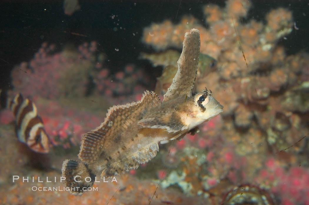 Sailfin sculpin., Nautichthys oculofasciatus, natural history stock photograph, photo id 07899