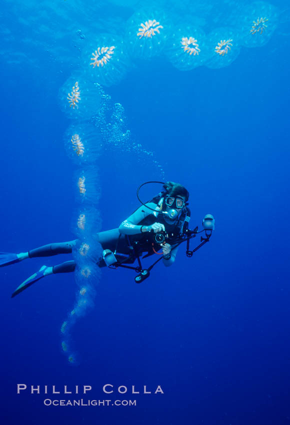 Salp chain and diver, open ocean. San Diego, California, USA, Cyclosalpa affinis, natural history stock photograph, photo id 05343