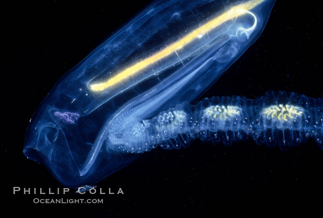 Salp (pelagic tunicate) reproduction, open ocean, Cyclosalpa affinis, San Diego, California
