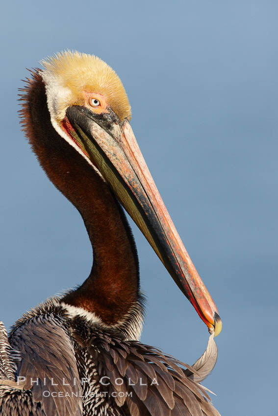 Brown pelican preening, cleaning its feathers after foraging on the ocean, with distinctive winter breeding plumage with distinctive dark brown nape, yellow head feathers and red gular throat pouch, Pelecanus occidentalis, Pelecanus occidentalis californicus, La Jolla, California