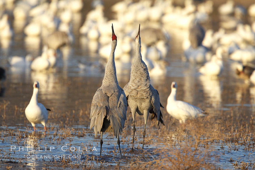 Sandhill cranes posture and socialize. Bosque del Apache National Wildlife Refuge, Socorro, New Mexico, USA, Grus canadensis, natural history stock photograph, photo id 22060