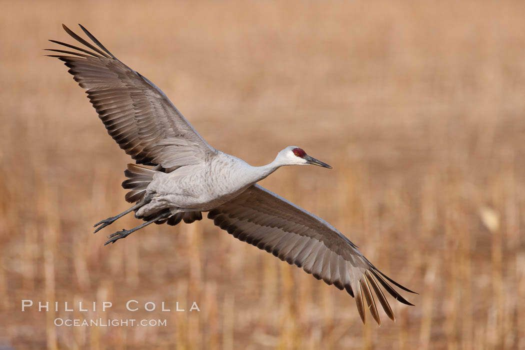 Sandhill crane in flight, wings extended, Grus canadensis, Bosque Del Apache, Socorro, New Mexico