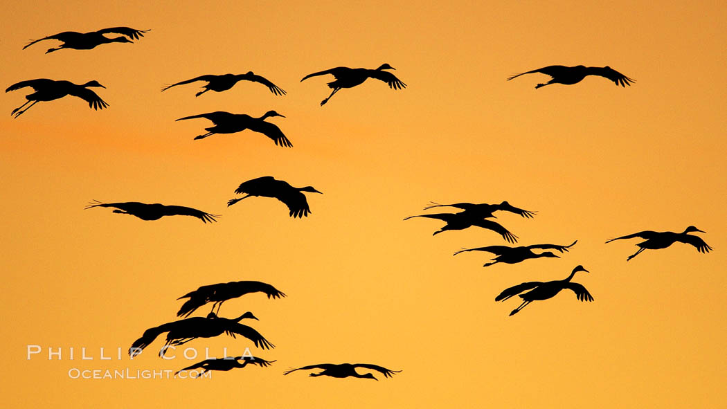 Sandhill cranes in flight, silhouetted against a richly colored evening sky. Bosque del Apache National Wildlife Refuge, Socorro, New Mexico, USA, Grus canadensis, natural history stock photograph, photo id 21994
