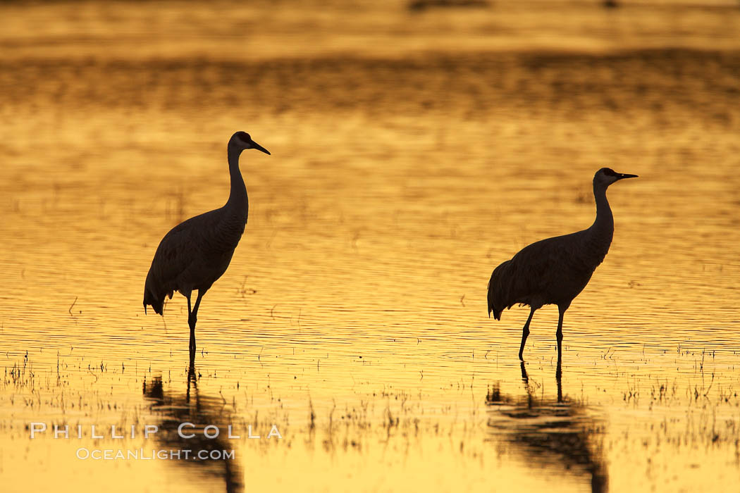 Sandhilll cranes in golden sunset light, silhouette, standing in pond. Bosque del Apache National Wildlife Refuge, Socorro, New Mexico, USA, Grus canadensis, natural history stock photograph, photo id 21991