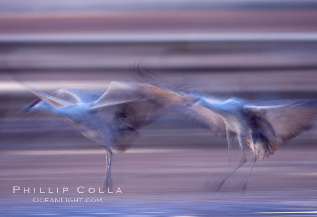 Sandhill cranes, flying across a colorful sunset sky, blur wings due to long time exposure. Bosque del Apache National Wildlife Refuge, Socorro, New Mexico, USA, Grus canadensis, natural history stock photograph, photo id 21957