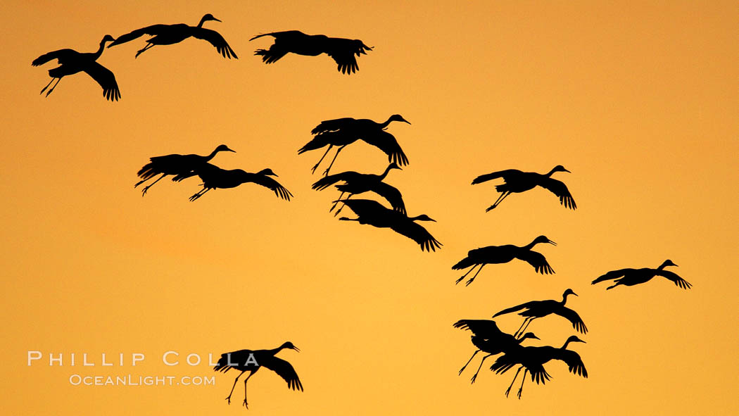 Sandhill cranes in flight, silhouetted against a richly colored evening sky. Bosque del Apache National Wildlife Refuge, Socorro, New Mexico, USA, Grus canadensis, natural history stock photograph, photo id 21890