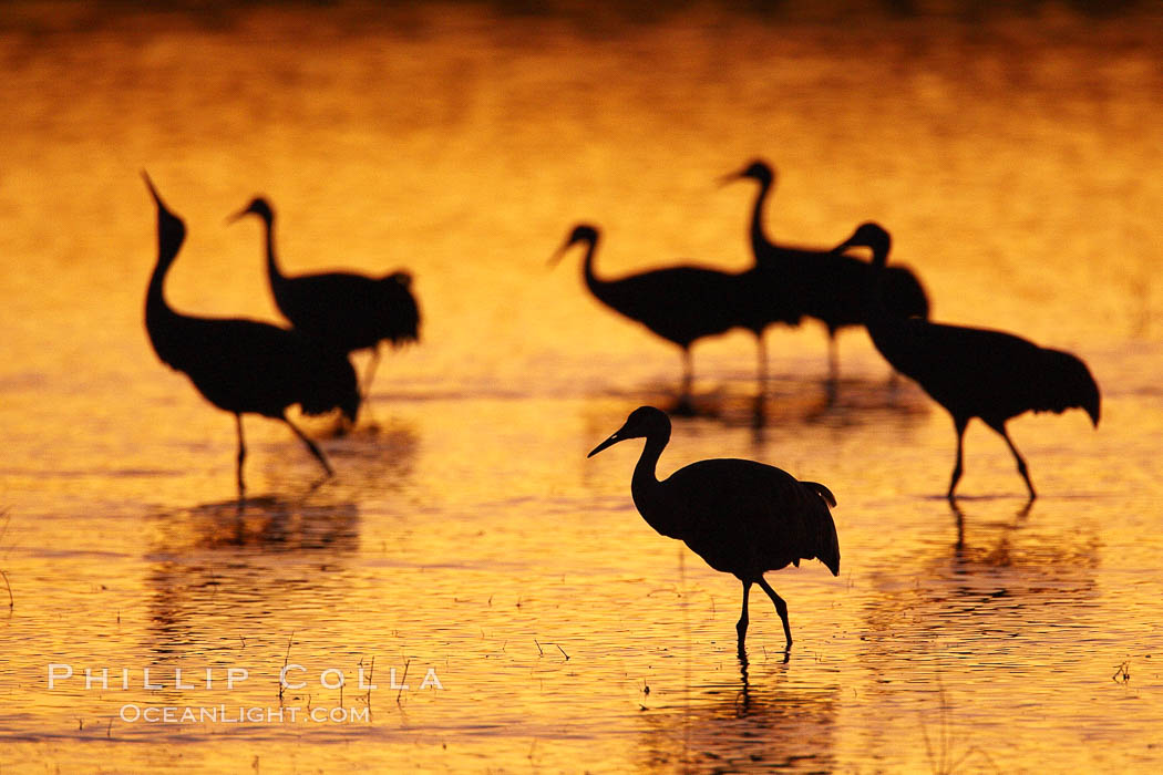 Sandhilll cranes in golden sunset light, silhouette, standing in pond. Bosque del Apache National Wildlife Refuge, Socorro, New Mexico, USA, Grus canadensis, natural history stock photograph, photo id 21891
