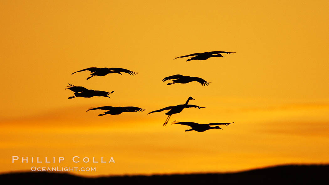 Sandhill cranes in flight, silhouetted against a richly colored evening sky. Bosque del Apache National Wildlife Refuge, Socorro, New Mexico, USA, Grus canadensis, natural history stock photograph, photo id 21935