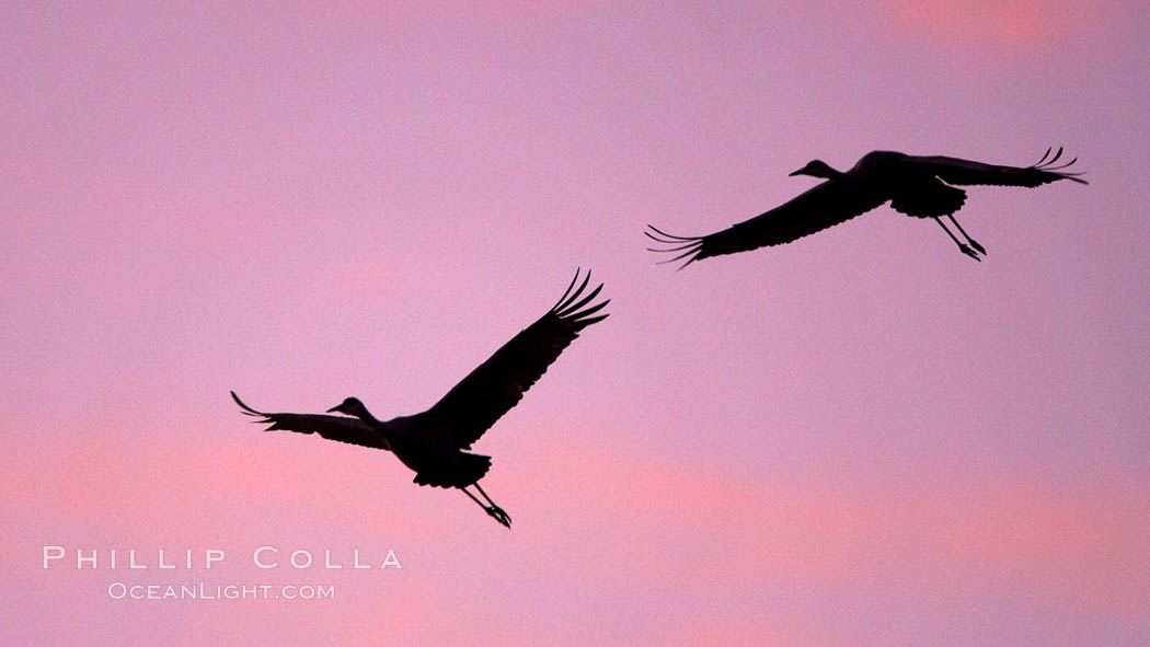 Sandhill cranes in flight, silhouetted against a richly colored evening sky. Bosque del Apache National Wildlife Refuge, Socorro, New Mexico, USA, Grus canadensis, natural history stock photograph, photo id 22050