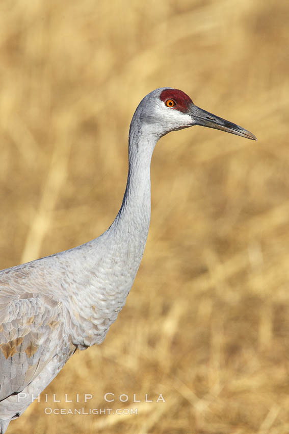 Sandhill crane portrait, as it forages in tall grass. Bosque del Apache National Wildlife Refuge, Socorro, New Mexico, USA, Grus canadensis, natural history stock photograph, photo id 21809