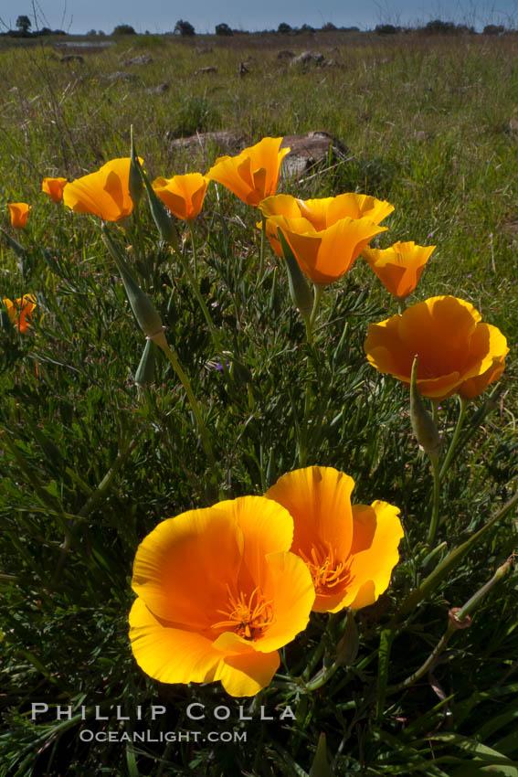California poppies grow on Santa Rosa Plateau in spring. Santa Rosa Plateau Ecological Reserve, Murrieta, California, USA, Eschscholzia californica, Eschscholtzia californica, natural history stock photograph, photo id 24370