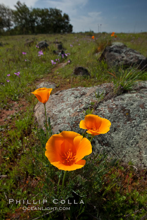 California poppies grow on Santa Rosa Plateau in spring, Eschscholzia californica, Santa Rosa Plateau Ecological Reserve, Murrieta