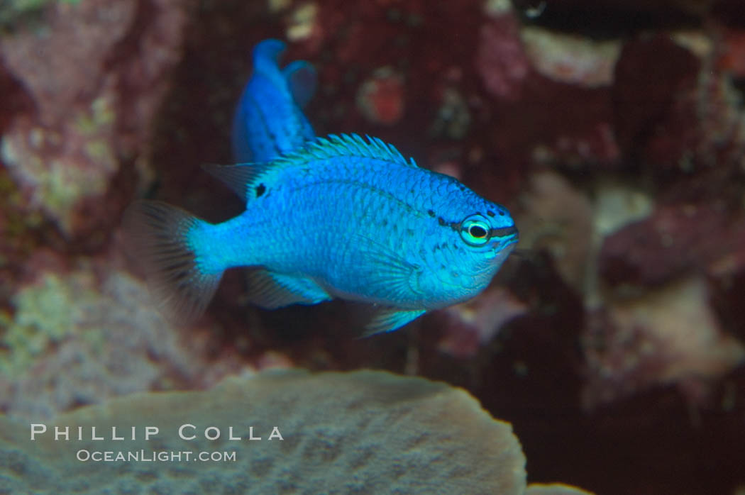 Sapphire devil (blue damselfish), female/juvenile coloration., Chrysiptera cyanea, natural history stock photograph, photo id 07917