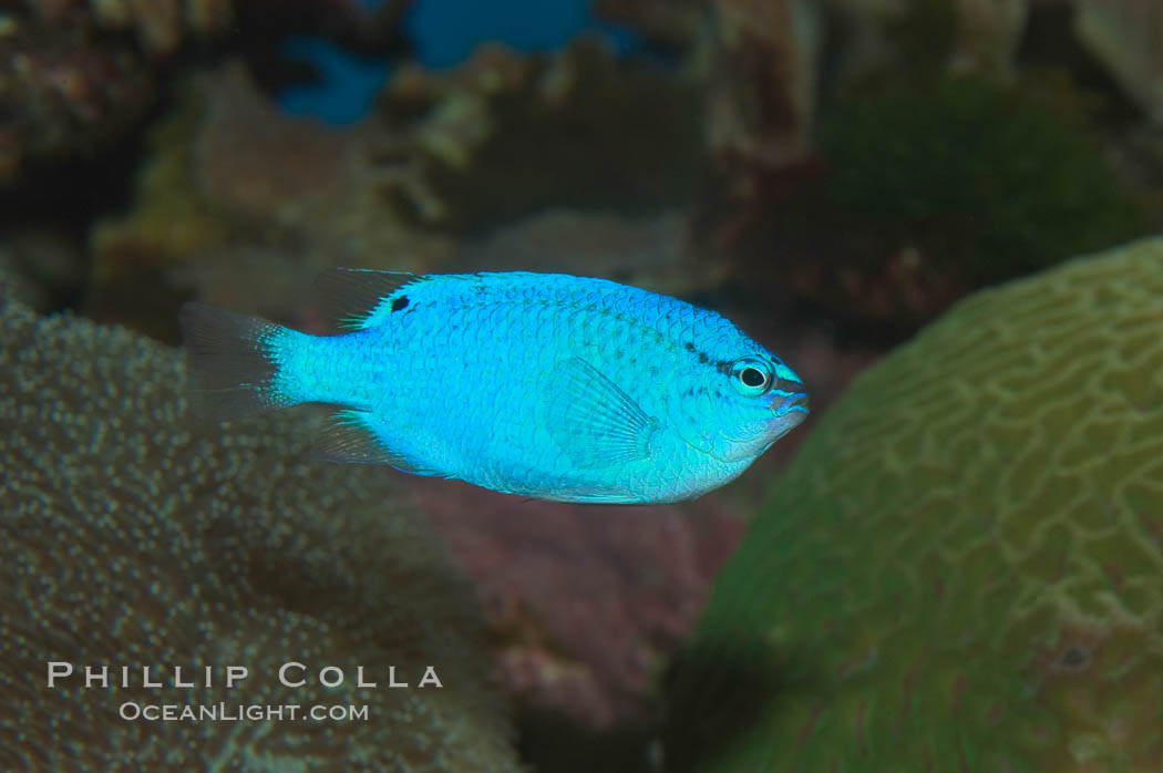 Sapphire devil (blue damselfish), female/juvenile coloration., Chrysiptera cyanea, natural history stock photograph, photo id 07919
