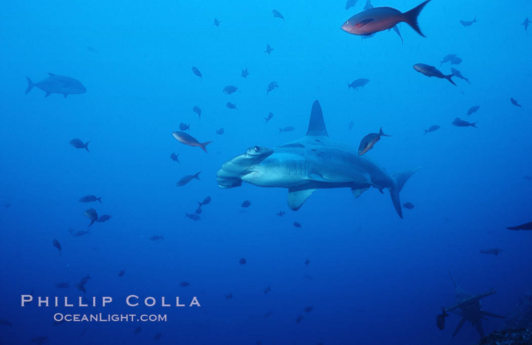 Scalloped hammerhead shark. Cocos Island, Costa Rica, Sphyrna lewini, natural history stock photograph, photo id 03202
