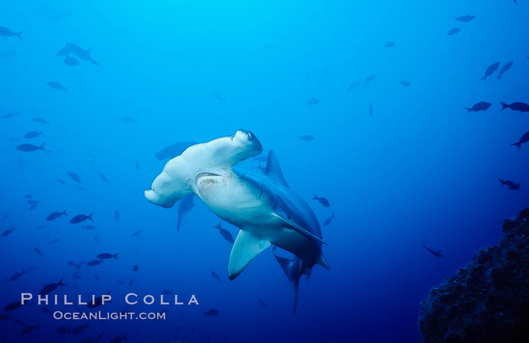 Scalloped hammerhead shark swims underwater at Cocos Island.  The hammerheads eyes and other sensor organs are placed far apart on its wide head to give the shark greater ability to sense the location of prey. Cocos Island, Costa Rica, Sphyrna lewini, natural history stock photograph, photo id 03192