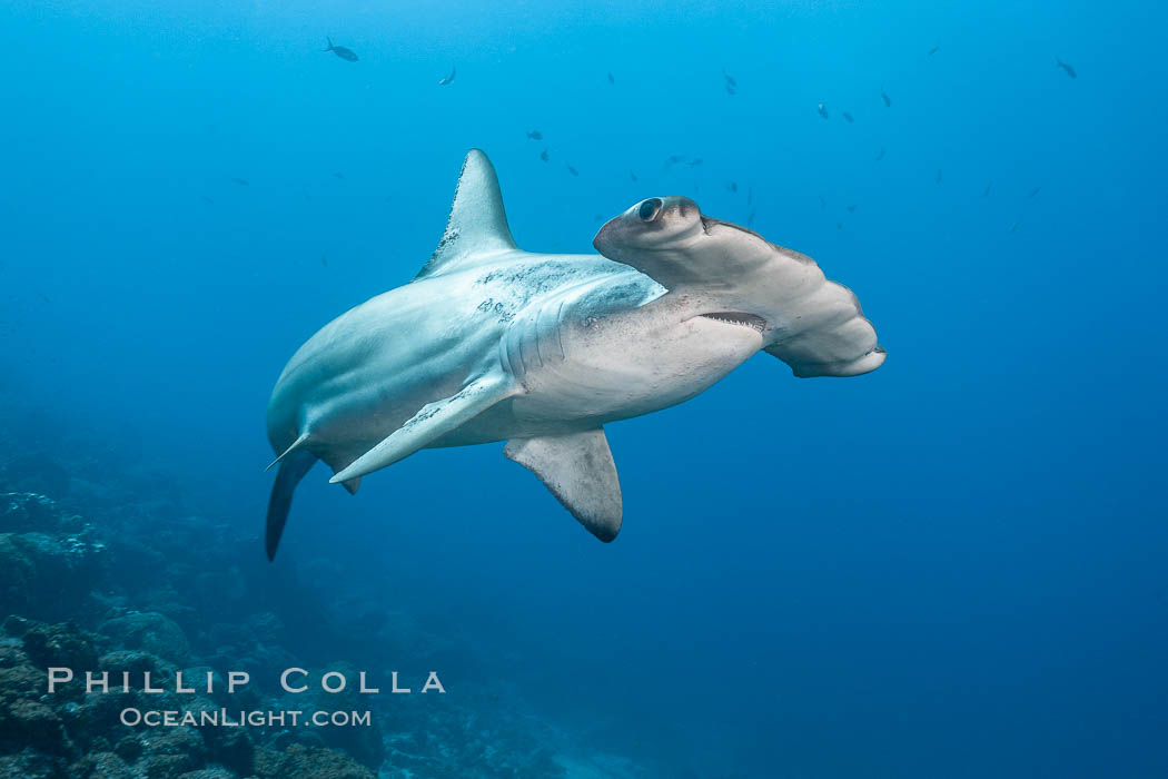 Scalloped hammerhead shark swims over a reef in the Galapagos Islands.  The hammerheads eyes and other sensor organs are placed far apart on its wide head to give the shark greater ability to sense the location of prey, Sphyrna lewini, Wolf Island