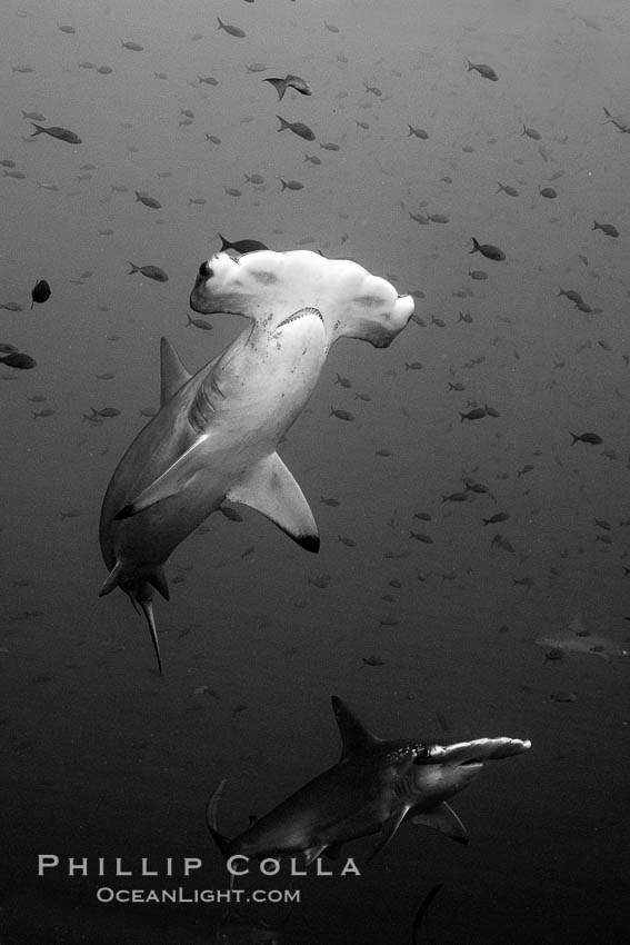 Scalloped hammerhead shark, black and white / grainy. Wolf Island, Galapagos Islands, Ecuador, Sphyrna lewini, natural history stock photograph, photo id 16252