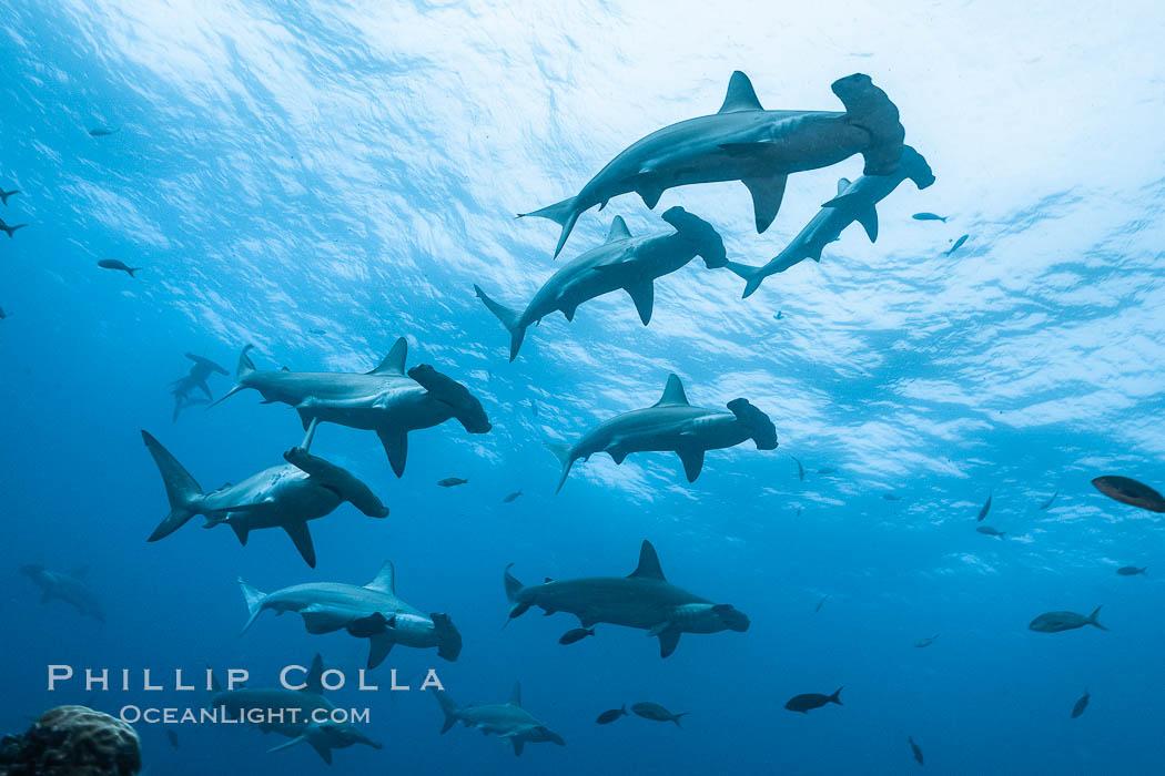 Hammerhead sharks, schooling, black and white / grainy. Wolf Island, Galapagos Islands, Ecuador, Sphyrna lewini, natural history stock photograph, photo id 16256