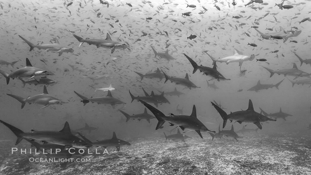 Hammerhead sharks, schooling. Darwin Island, Galapagos Islands, Ecuador, Sphyrna lewini, natural history stock photograph, photo id 16259