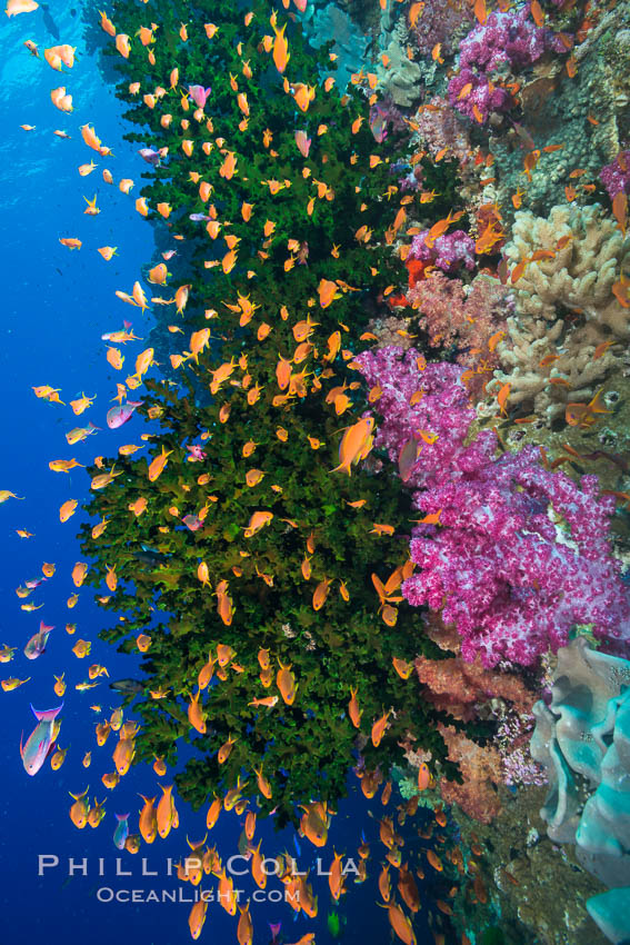 Schooling anthias fish, colorful dendronephthya soft corals and green fan coral, Fiji. Vatu I Ra Passage, Bligh Waters, Viti Levu  Island, Dendronephthya, Pseudanthias, Tubastrea micrantha, natural history stock photograph, photo id 31480