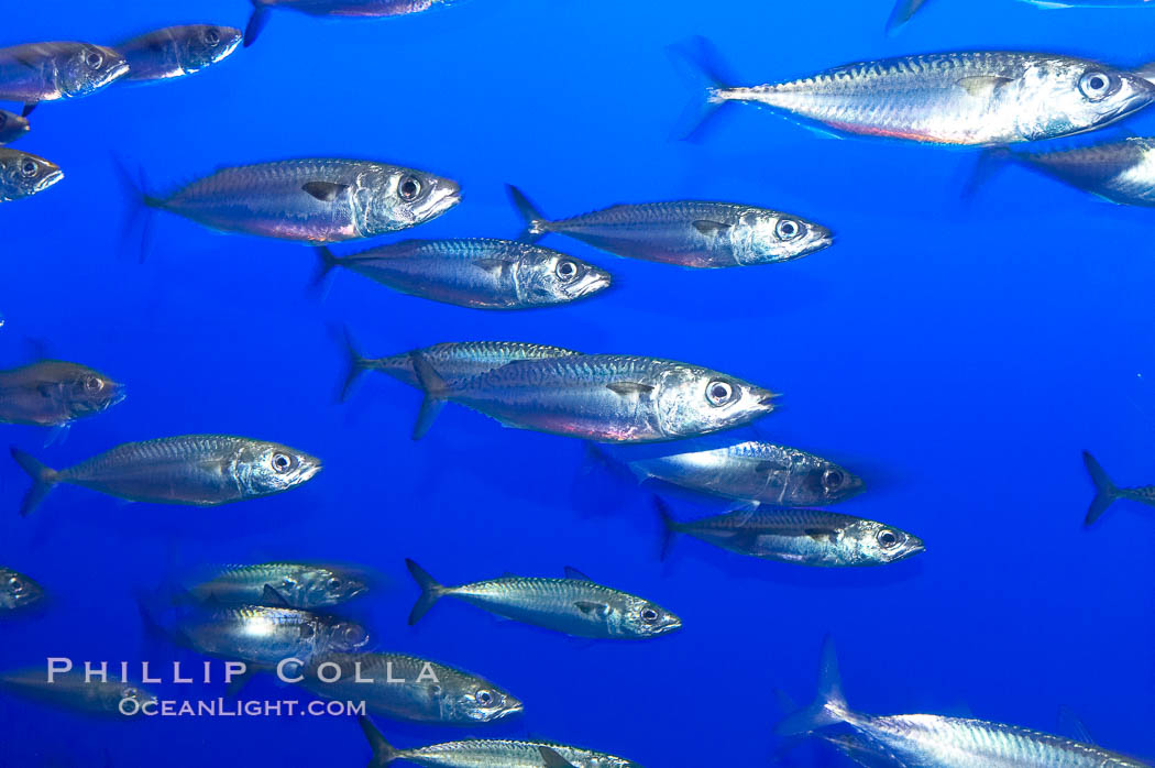 Pacific mackerel.  Long exposure shows motion as blur.  Mackerel are some of the fastest fishes in the ocean, with smooth streamlined torpedo-shaped bodies, they can swim hundreds of miles in a year., Scomber japonicus,  Copyright Phillip Colla, image #14926, all rights reserved worldwide.