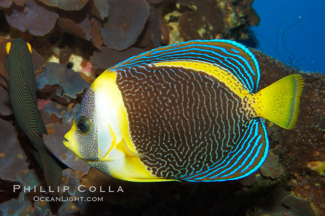 Scribbled angelfish., Chaetodontoplus duboulayi, natural history stock photograph, photo id 08723