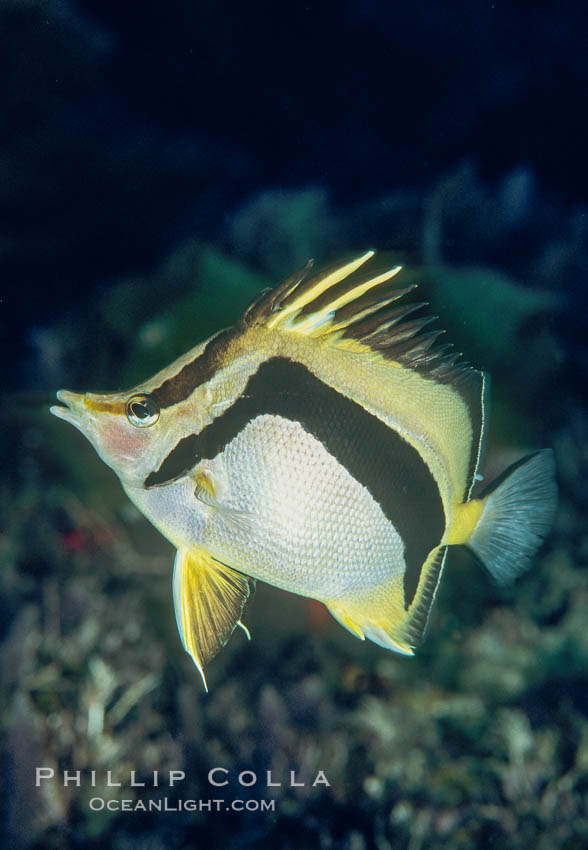 Scythe-marked butterflyfish. Guadalupe Island (Isla Guadalupe), Baja California, Mexico, Prognathodes falcifer, natural history stock photograph, photo id 02397