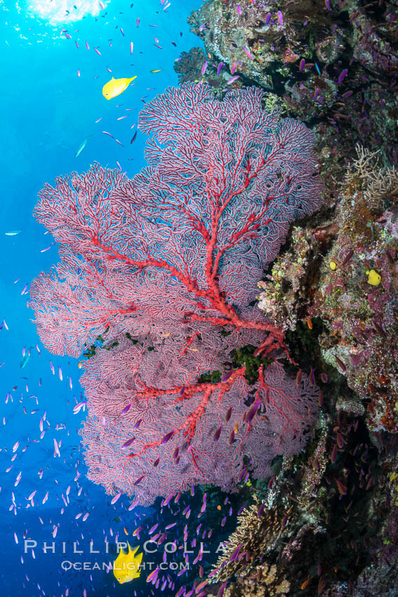 Plexauridae sea fan gorgonian and schooling Anthias on pristine and beautiful coral reef, Fiji. Wakaya Island, Lomaiviti Archipelago, Pseudanthias, Gorgonacea, Plexauridae, natural history stock photograph, photo id 31350