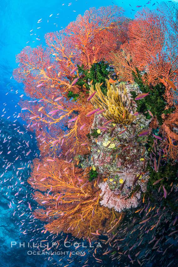 Sea fan gorgonian and schooling Anthias on pristine and beautiful coral reef, Fiji, Pseudanthias, Gorgonacea, Wakaya Island, Lomaiviti Archipelago