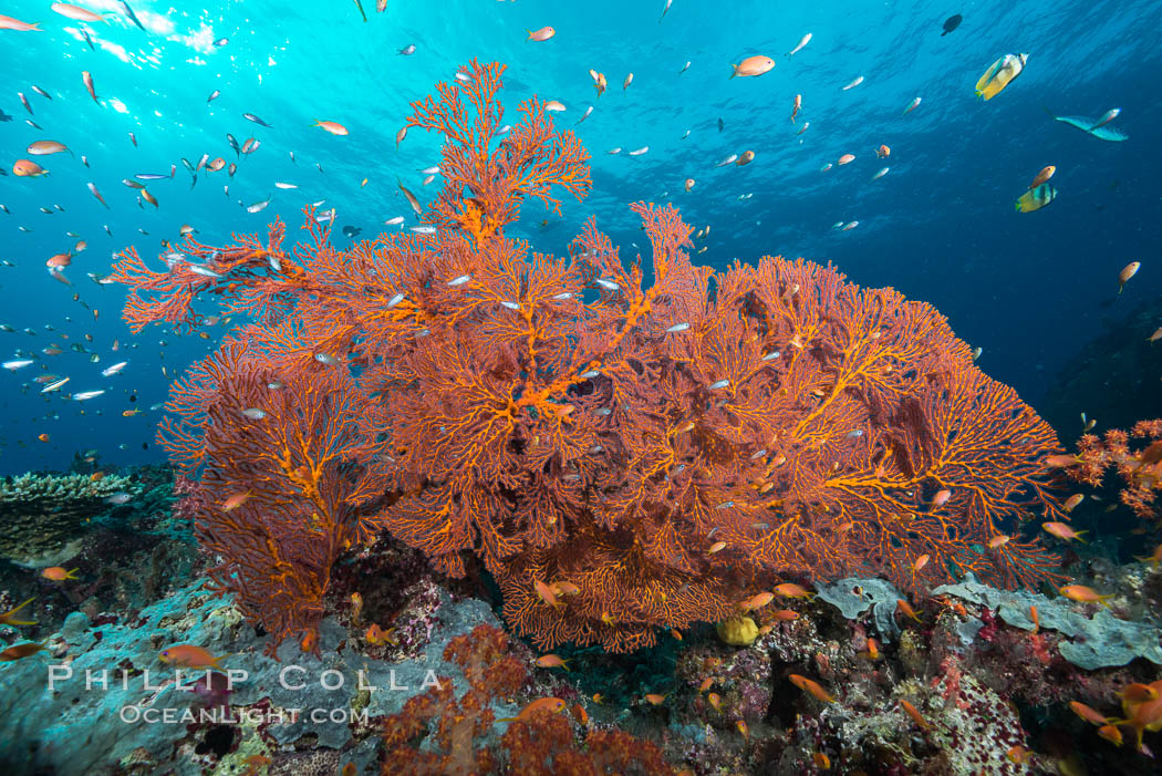 Plexauridae sea fan gorgonian and schooling Anthias on pristine and beautiful coral reef, Fiji. Gau Island, Lomaiviti Archipelago, Pseudanthias, Gorgonacea, Plexauridae, natural history stock photograph, photo id 31519