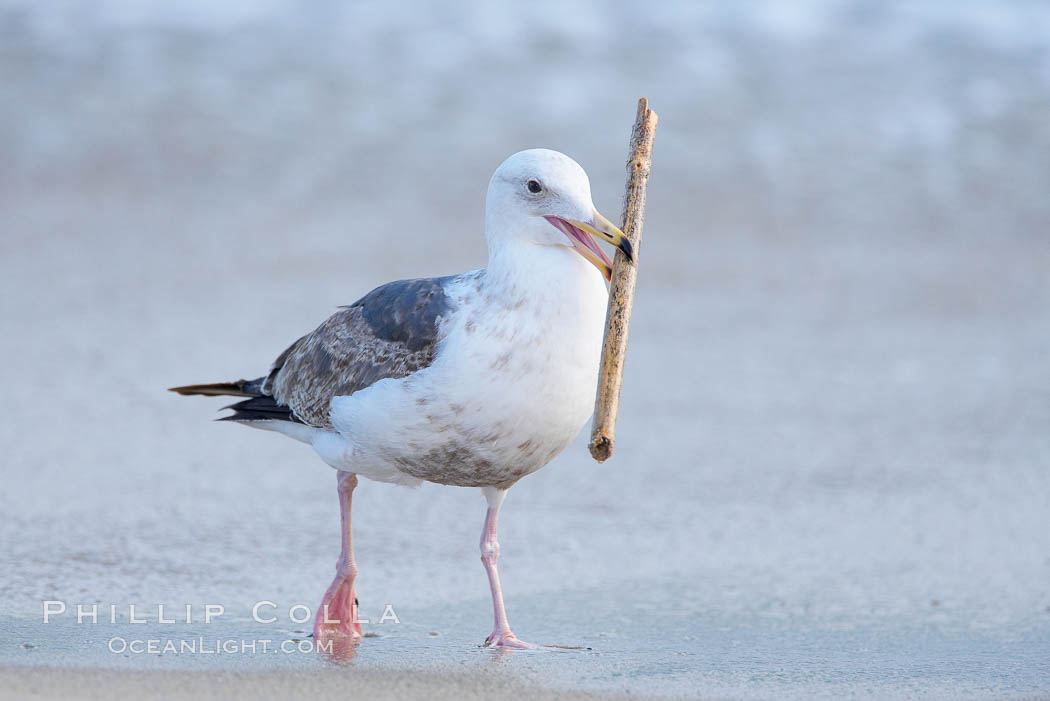 Sea gull carries a stick around the beach. La Jolla, California, USA, natural history stock photograph, photo id 15775