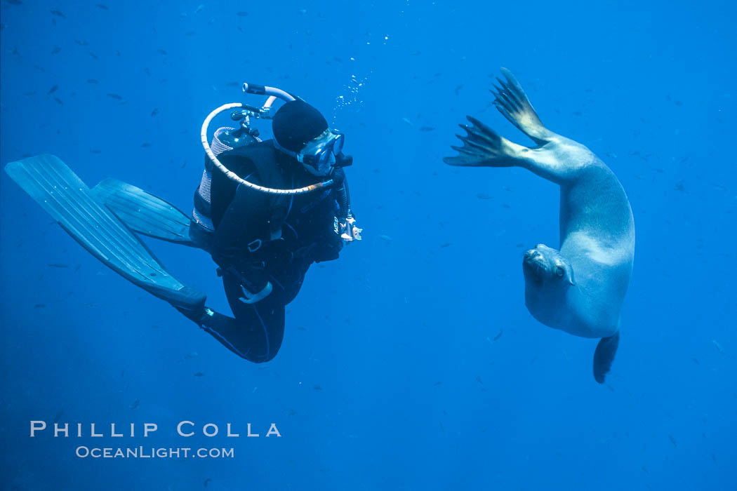 California sea lion and diver consider each other, underwater in the clear ocean water of Guadalupe Island. Guadalupe Island (Isla Guadalupe), Baja California, Mexico, Zalophus californianus, natural history stock photograph, photo id 02251