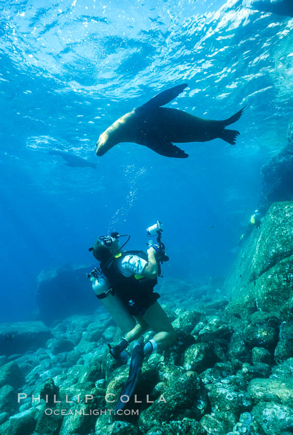California sea lion with diver, Sea of Cortez., Zalophus californianus, natural history stock photograph, photo id 00953