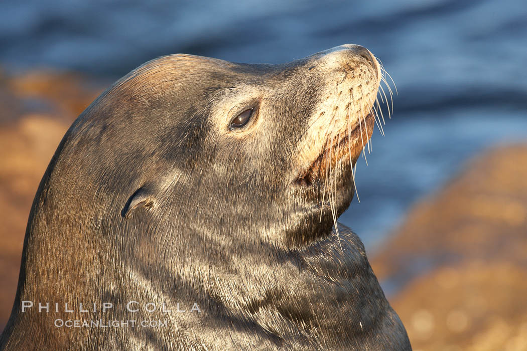 California sea lion, adult male, profile of head showing long whiskers and prominent sagittal crest (cranial crest bone), hauled out on rocks to rest, early morning sunrise light, Monterey breakwater rocks. USA, Zalophus californianus, natural history stock photograph, photo id 21561