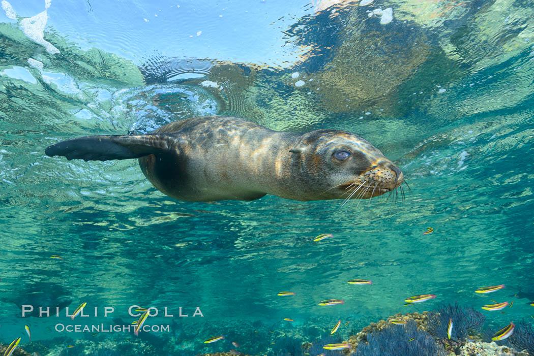Sea Lion Underwater, Los Islotes, Sea of Cortez. Los Islotes, Baja California, Mexico, natural history stock photograph, photo id 32503