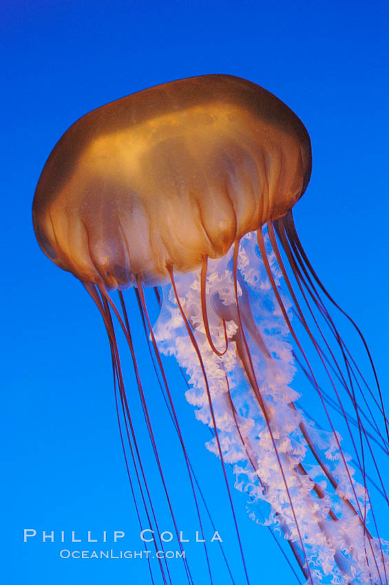 Sea nettles., Chrysaora fuscescens, natural history stock photograph, photo id 08953