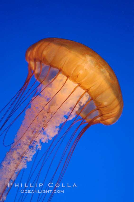 Sea nettles., Chrysaora fuscescens, natural history stock photograph, photo id 08961
