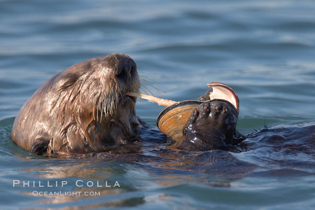 A sea otter eats a clam that it has taken from the shallow sandy bottom of Elkhorn Slough.  Because sea otters have such a high metabolic rate, they eat up to 30% of their body weight each day in the form of clams, mussels, urchins, crabs and abalone.  Sea otters are the only known tool-using marine mammal, using a stone or old shell to open the shells of their prey as they float on their backs. Elkhorn Slough National Estuarine Research Reserve, Moss Landing, California, USA, Enhydra lutris, natural history stock photograph, photo id 21612
