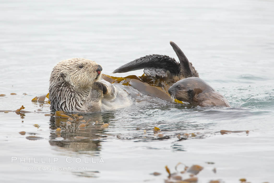 A female sea otter floats on its back on the ocean surface while her pup pops its head above the water for a look around.  Both otters will wrap itself in kelp (seaweed) to keep from drifting as it rests and floats., Enhydra lutris,  Copyright Phillip Colla, image #20434, all rights reserved worldwide.