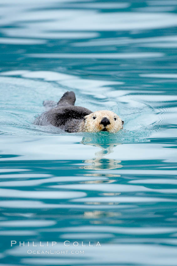 Sea otter. Resurrection Bay, Kenai Fjords National Park, Alaska, USA, Enhydra lutris, natural history stock photograph, photo id 16939