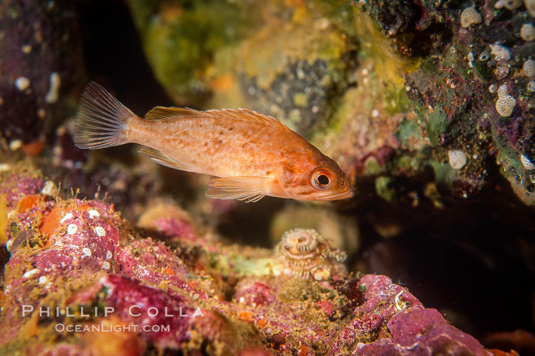 Kelp rockfish, Channel Islands. California, USA, Sebastes atrovirens, natural history stock photograph, photo id 07076
