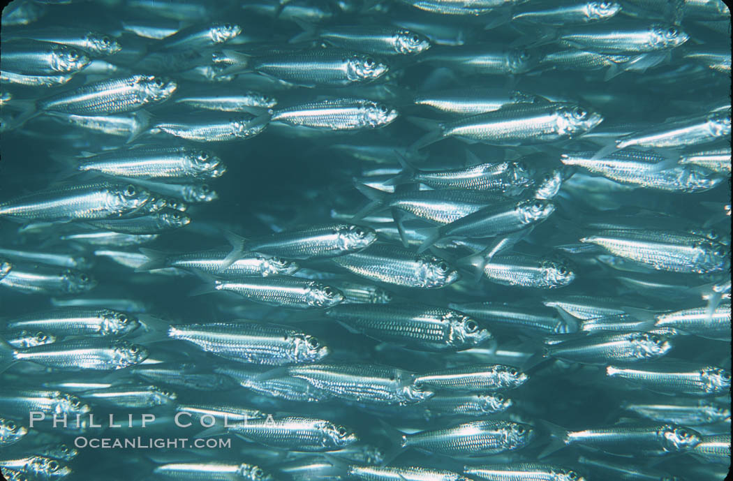 Bigeye scad, schooling. Sea of Cortez, La Paz, Baja California, Mexico, Selar crumenophthalmus, natural history stock photograph, photo id 04786